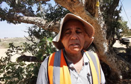 עץ השיקמה בשכונת בן גוריון יועתק